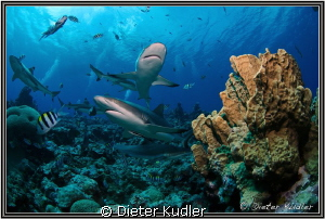 Stone Coral with Sharks by Dieter Kudler 